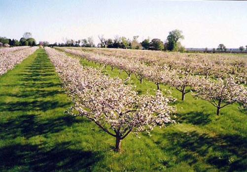 Orchard of blossoms